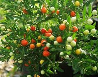 Jerusalem Cherry- Solanum- 50 Seeds