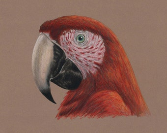 Scarlet Macaw Portrait, Color Pencil Wall Art Print