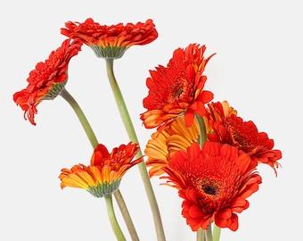 Gerbera daisies, red orange flower, macro photography, nature photography, mimimalist, inspirational