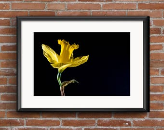 Print of a single yellow Daffodil on a Black Background