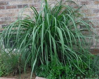 Herb Plant, Lemongrass Organic