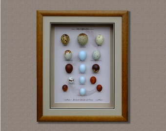 Birds of Prey Replica Eggs Set,Handcrafted,Framed ,Free Shipping.