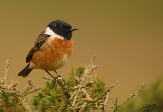 Stonechat (Male) [Photographic Print]