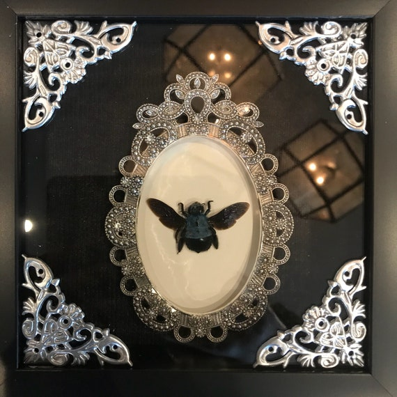 Blue carpenter bee taxidermy display! Real