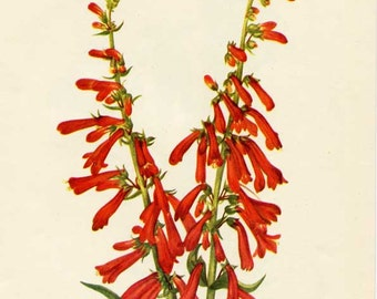 Vintage 1953 Fire Pensteon Botanical, Floral Print for Framing, American Wildflower, Bright Red