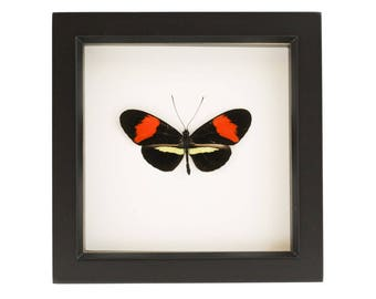 Framed Postman Butterfly Taxidermy Display