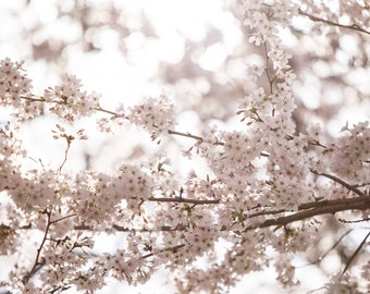 Cherry Blossoms in Seattle, WA - Photography Print