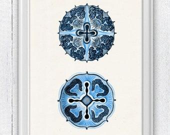 Jellyfish from the bottom Discomedusae in blue - sea life print- Haeckel sea life illustration A4 print SAS115