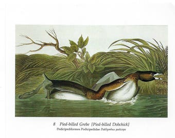 Audubon Pied-billed Grebe (Pied-billed Dobchick) or Eared Grebe for Framing, Collage, Decoupage, Scrapbooking, Paper Arts and MORE PSS 3207