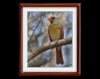 Cardinal Print - 8x10 or 11x14 Cardinal Photograph - Bird Photograph - Bird Print - Cardinal Art - Nature Art - (P20)