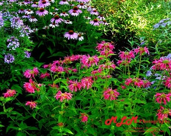 Red Bee Balm with Purple Coneflowers, Economy Photo, Outdoor Nature Photography, Kentucky Scene, Home Décor, Unframed Wall Art