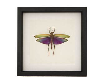 Real Insect Grasshopper Display Titanacris albipes Taxidermy