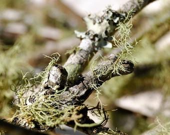 Mossy Twigs, Lichen Twigs for Fairy Garden, Terrarium Lichen, Terrarium Moss, Terrarium Supplies, Beard lichen, Fairy Garden Supplies