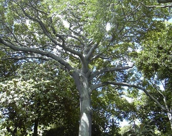 "Ceiba Pentandra / Kapok / Silk Cotton tree ""Thornless"" - 5 seeds"