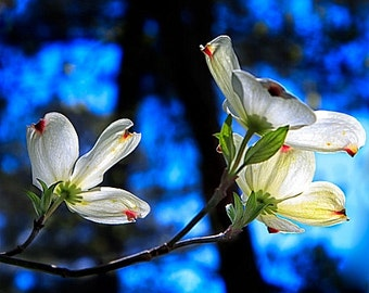 """White Dogwood Flower Fine Art Photography, 8x12 (and larger), """"Dogwood in Profile"""", Floral Photo Print, Botanical Photograph, Nature Photo"""