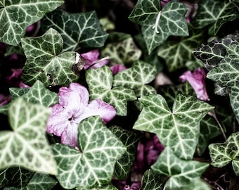 Ivy green and pink fine art photography