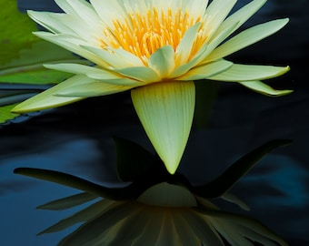 Yellow Water Lily, 5x7 Mounted Fine Art Color Photograph