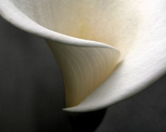 """Calla lily photograph, abstract wall art, flower photo, white -- """"Abstract Calla"""", a 5x5-inch fine art photo"""