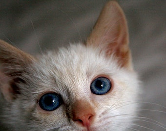 Blue Eyed Kitten Photo Blank Card