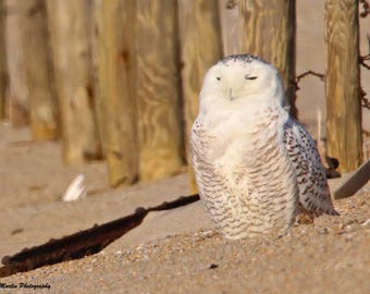 A Snowy Owl on the Beach