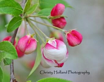 Pink Buds 8x10 White Mat
