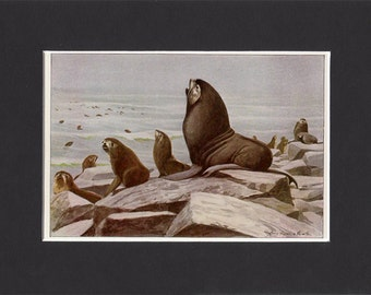 Northern Fur Seal 1916 Print by Louis Agassiz Fuertes Vintage Mounted Bookplate Picture with Mat Fur Seal Picture Alaska Fur Seal Seal Art