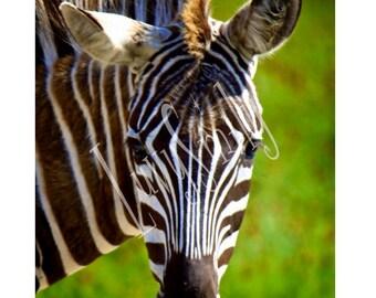 Zebra Color Pop Photograph
