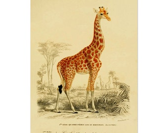 Giraffe Poster, Giraffe Art Print, Savanna Animals, Animal Print, Natural History Print From Vintage Scientific Illustration