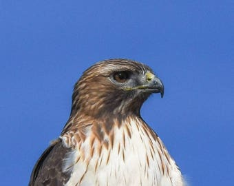 Red Tailed Hawk Print, Red Tailed Hawk Photo, Bird Photography, Nature Photography, Desert Photography, Red Tailed Hawk Decor