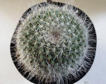 "Old Lady Cactus (Mamrhillaria hahniana) 3.5""pot"