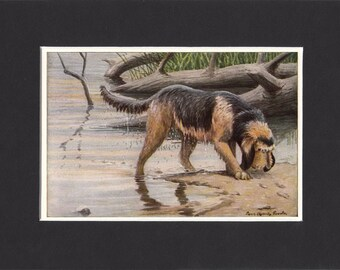Otterhound 1919 Vintage Dog Print by Louis Agassiz Fuertes Small Print of a Signed Painting - Mounted with Mat Otterhound Print Otter Hound