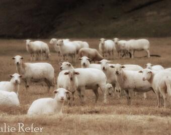 Sheep photography, sheep canvas, farmhouse decor