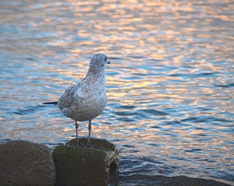 Bird photograph, Looking Back, Jonathan Livingston Seagull, scenery, wall art, home office cottage decor, nature photograph, gift 20
