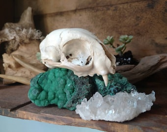 Vintage Real Bobcat Skull, Found Small White Animal Bones with Sharp Teeth for Witchy Woman, Spooky Decor