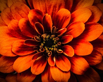 Photography Print / Color / Nature Photography / Fine Art Photography / Wall Decor / Color Print / Orange / Flower / Bold