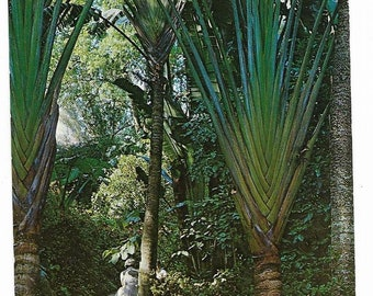 Vintage Florida Chrome Postcard St Petersburg Sunken Gardens Travelers Tree Winding Path UNUSED