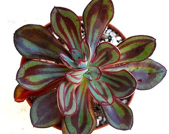 "Echeveria nodulosa ( Painted Echeveria) Succulent Plant Rosette 4"" Pot"