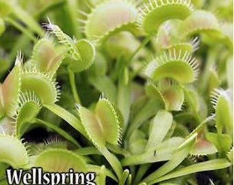 CARNIVOROUS Dionea muscipula Venus Fly Trap 'King Henry' - Live Plant Insects