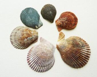 Set of 6 black set of 4 pink scallop shells