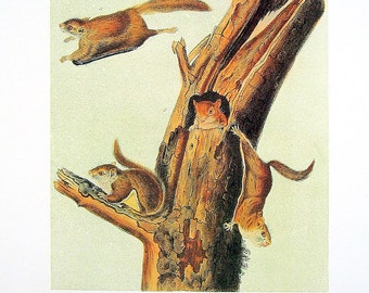Common Flying Squirrel 1989 Vintage Audubon Book Plate Page for Framing Naturalist Illustration
