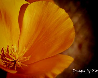 Yellow Poppy, Golden Poppy Photography - Fine Art Photography