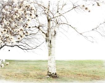Trees, White Birch, White Magnolia, White Park Trees