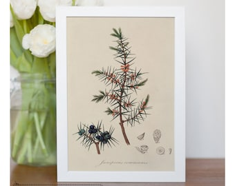 "Vintage illustration of Common Juniper - Framed fine art print, Botanical art, 8""x10"" ; 11""x14"", FREE SHIPPING - 77"