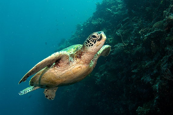 Sea Turtle Decor Underwater Photography print of Sea Turtle Swimming Underwater Nautical Decor Print