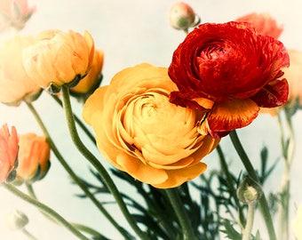 Ranunculus Print, Flower Photography, Red Yellow Decor, Floral Wall Art, Fine Art Print