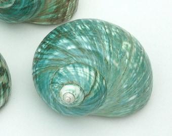 Beach Decor - Large Polished Jade Turbo Shell - natural coastal nautical shells sea shells sea shell seashells seashell