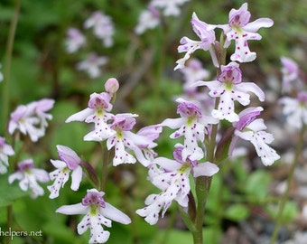Amerorchis rotundifolia, Roundleaf orchid, North West Orchid, Tiny wildflower, Magical Bouguet, Photograph or Greeting card