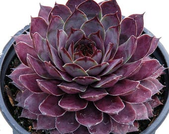 "Plum Parfait Hens & Chicks - Sempervivum - Indoors/Out - 3.5"" Pot - Chick Charms"