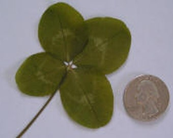 Real Four Leaf Clover - Large Sized - True White 4 Leaf Clover - Lucky Charm - Scrap booking