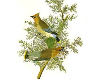 Audubon Cedar Waxwing  or Northern Shrike for Framing, Collage, Scrapbooking, Paper Arts, Assemblage and MORE PSS 1459
